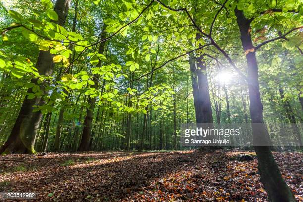 low angle view of beech forest in springtime - tree trunk stock pictures, royalty-free photos & images