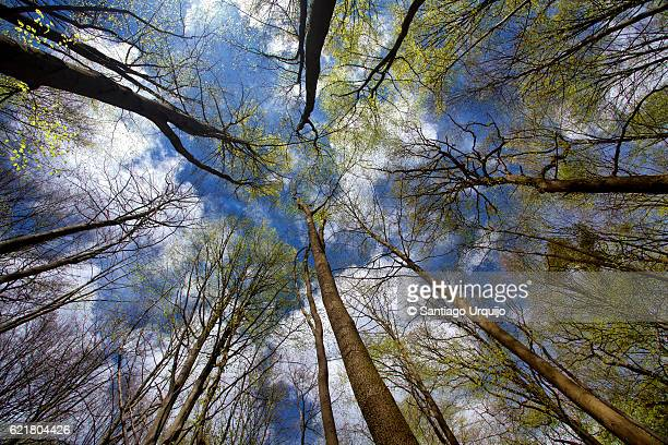 Low angle view of beech forest in springtime