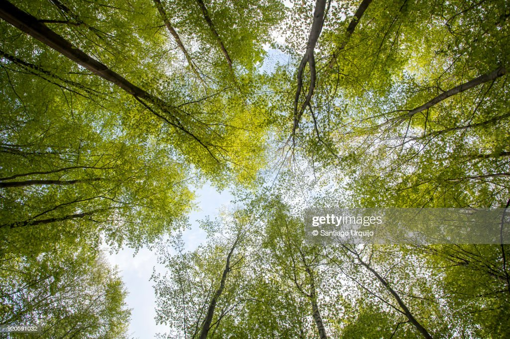 Low angle view of beech forest in springtime : Stock-Foto