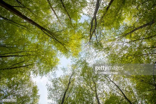 low angle view of beech forest in springtime - image stock pictures, royalty-free photos & images