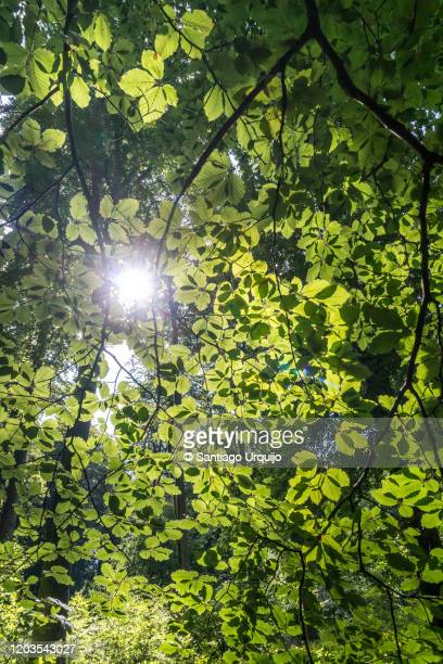 low angle view of beech tree branches in springtime - beech tree stock pictures, royalty-free photos & images