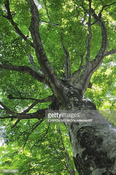 low angle view of beech tree - 鳥取県 無人 ストックフォトと画像