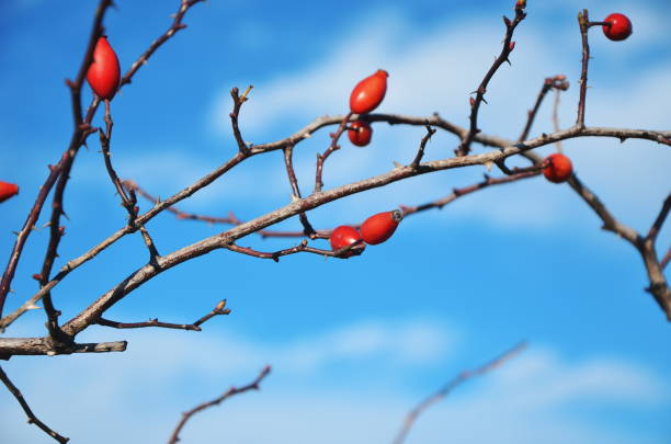 Low Angle View Of Berries On Tree Against Sky