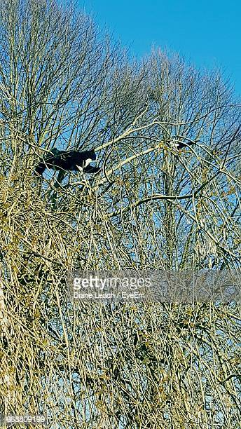Low Angle View Of Bicolor Cat And Magpie Bird On Tree