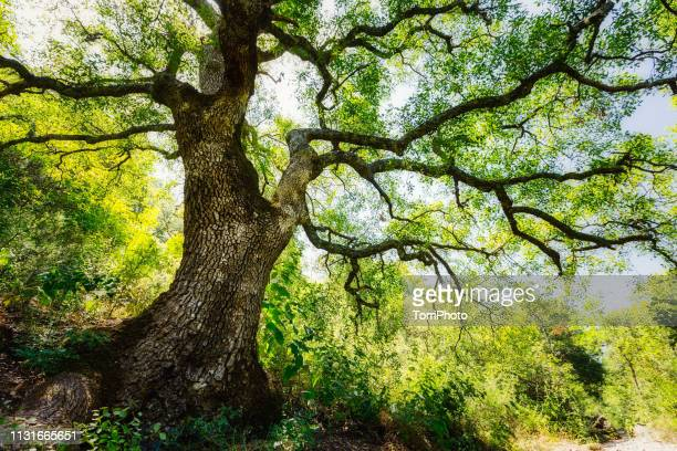 low angle view of big old tree with lush foliage in summer nature - beech tree stock pictures, royalty-free photos & images