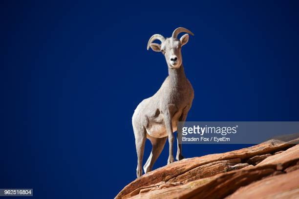 Low Angle View Of Bighorn Sheep On Rock Standing Against Clear Blue Sky