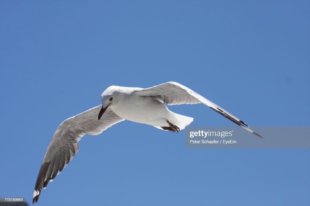Low Angle View Of Bird Flying Against Clear Blue Sky : Photo