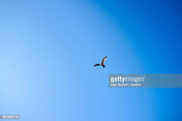low angle view of bird flying against clear blue sky - 一匹 ストックフォトと画像
