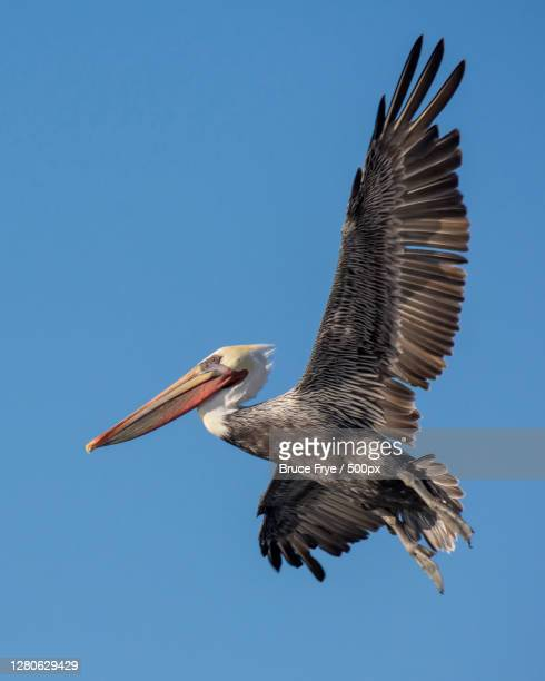 low angle view of bird flying against clear blue sky,santa cruz,california,united states,usa - western usa stock pictures, royalty-free photos & images