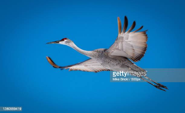 low angle view of bird flying against clear blue sky,delafield,wisconsin,united states,usa - カナダヅル ストックフォトと画像