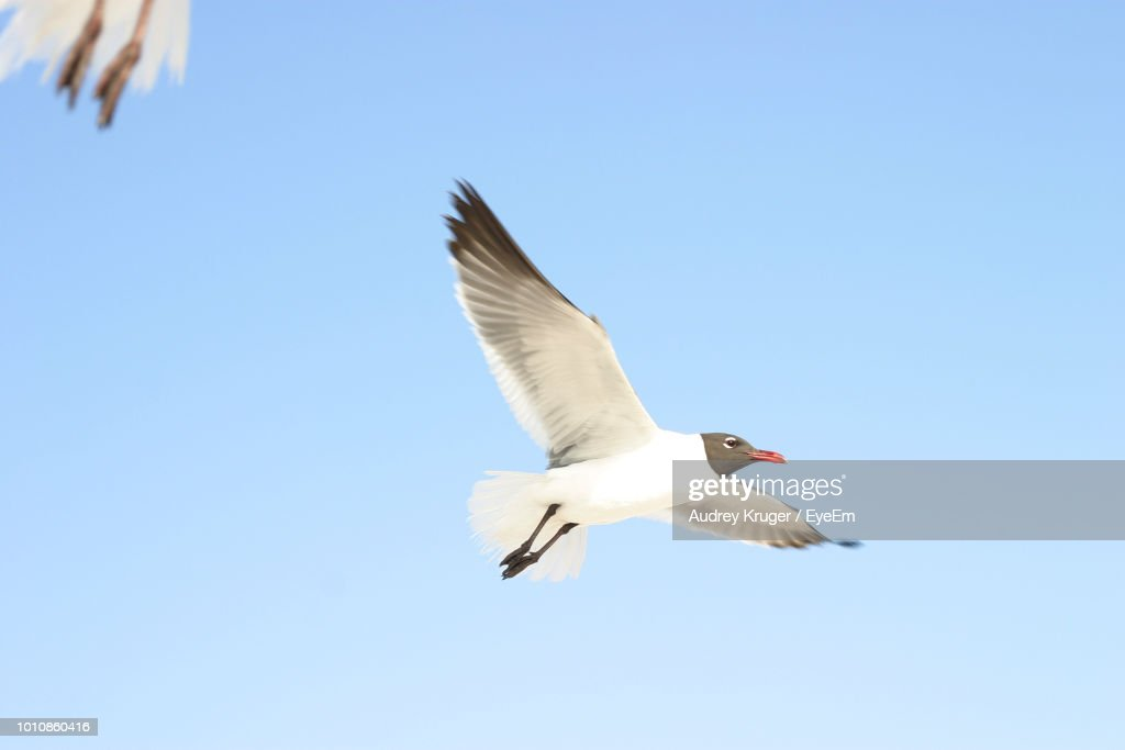 low angle view of bird flying against clear sky ストックフォト