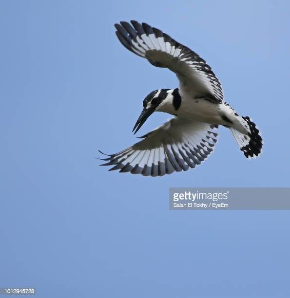 low angle view of bird flying against clear sky - salah stock photos and pictures