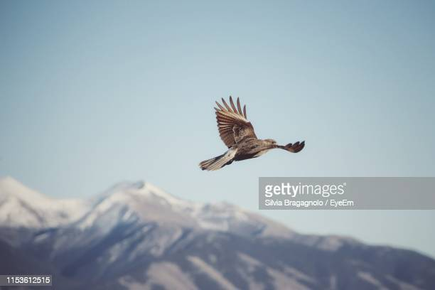 low angle view of bird flying against clear sky - pájaro fotografías e imágenes de stock
