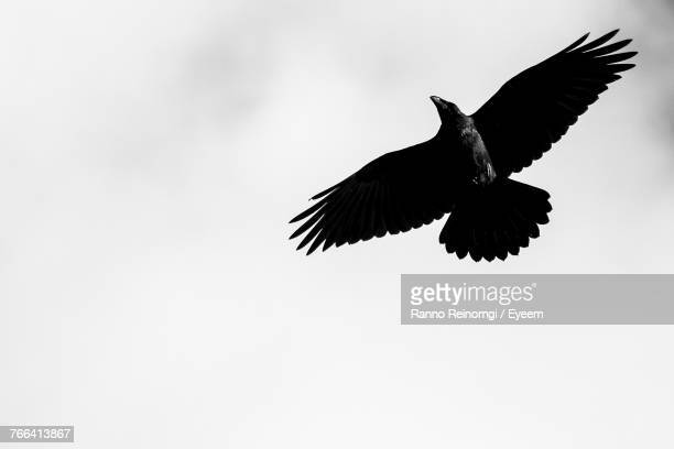low angle view of bird flying against clear sky - raven bird stock photos and pictures