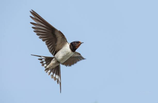 Low angle view of bird flying against clear sky,Karlslunde,Denmark