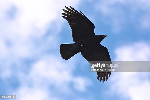 low angle view of bird flying against sky - crow bird stock photos and pictures