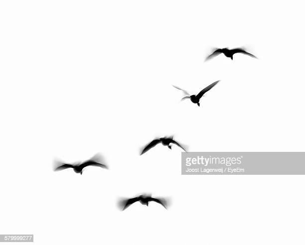 low angle view of bird flying against white background - pájaro fotografías e imágenes de stock