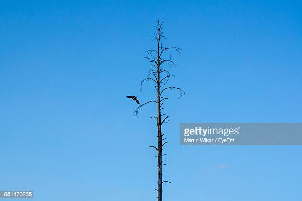 Low Angle View Of Bird Flying By Bare Tree Against Clear Blue Sky