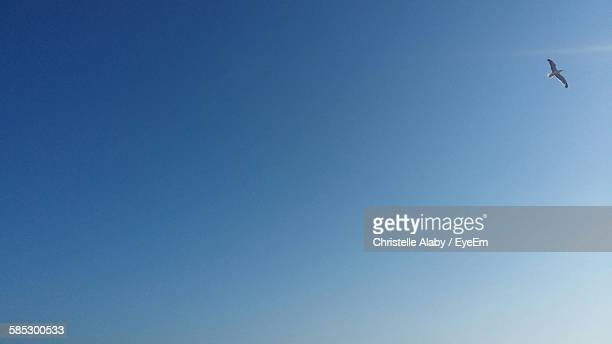 Low Angle View Of Bird Flying In Clear Blue Sky