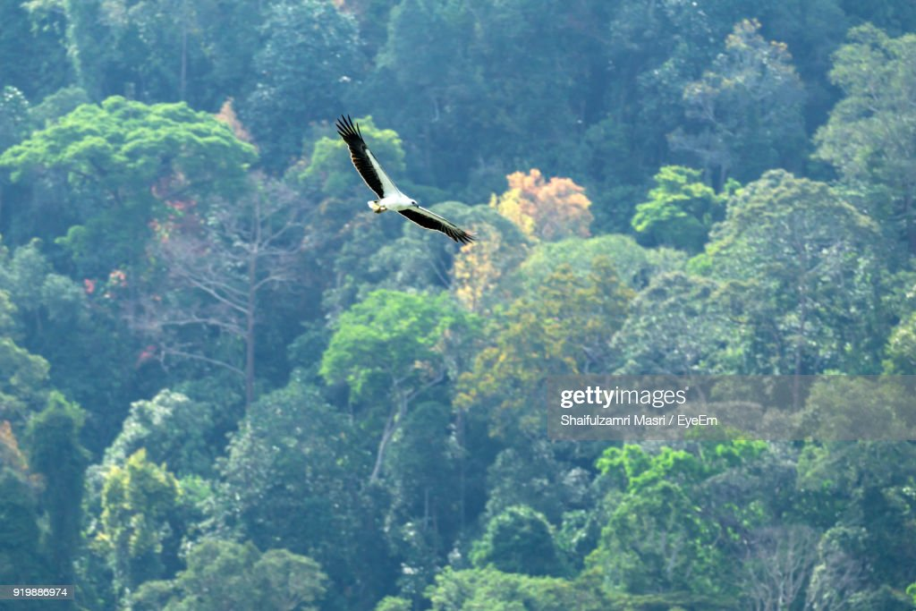 Low Angle View Of Bird Flying Over Trees In Forest : Stock Photo