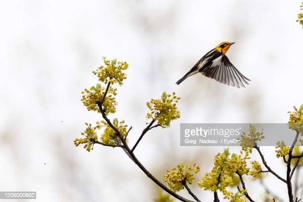 low angle view of bird flying - warbler stock pictures, royalty-free photos & images