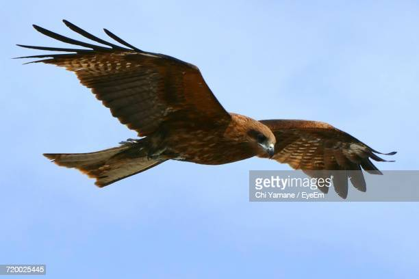 low angle view of bird flying - hawk stock photos and pictures