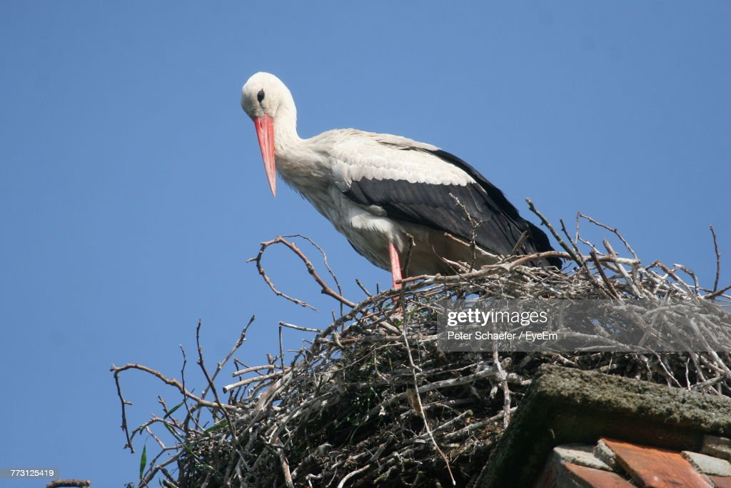Low Angle View Of Bird Perching Against Clear Blue Sky : Photo