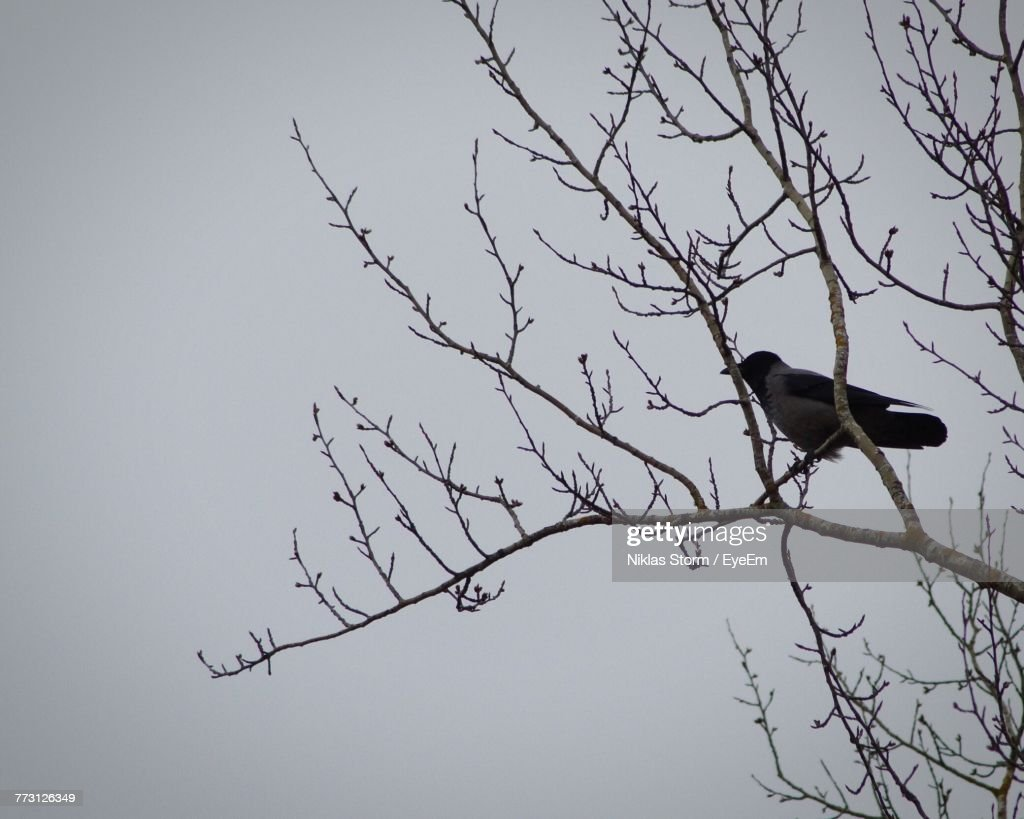 Low Angle View Of Bird Perching On Bare Tree Against Sky : Photo