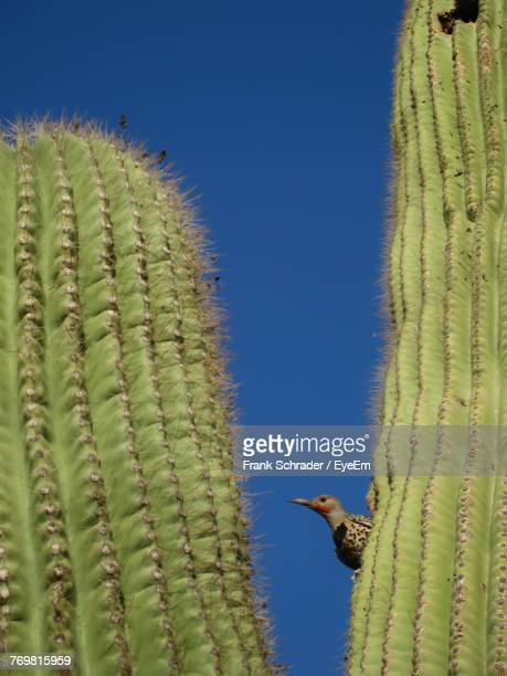 Low Angle View Of Bird Perching On Cactus Plant Against Clear Blue Sky