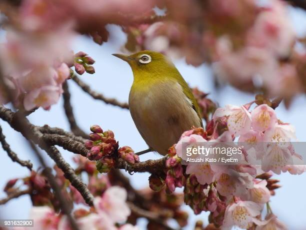 Low Angle View Of Bird Perching On Cherry Tree