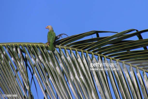 low angle view of bird perching on palm tree against blue sky - van dijk stock pictures, royalty-free photos & images