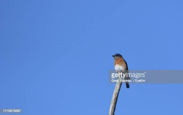 low angle view of bird perching on pole against blue sky - greg nadeau stock pictures, royalty-free photos & images