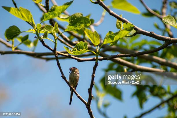 low angle view of bird perching on tree - nightingale stock pictures, royalty-free photos & images