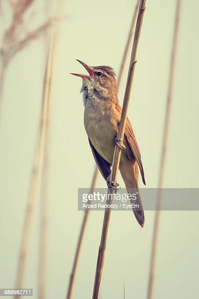 low angle view of bird singing on stem - birdsong stock pictures, royalty-free photos & images