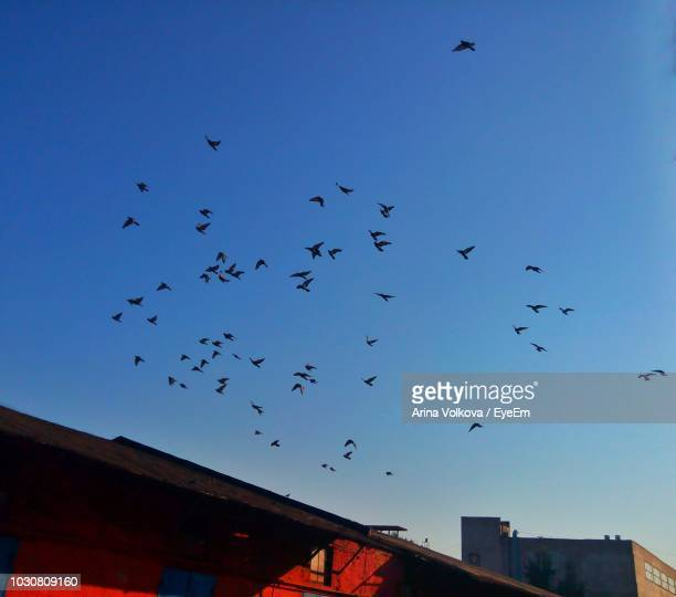 low angle view of birds flying against clear blue sky - nizhny novgorod oblast stock photos and pictures