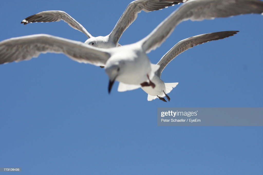 Low Angle View Of Birds Flying Against Clear Blue Sky : Photo