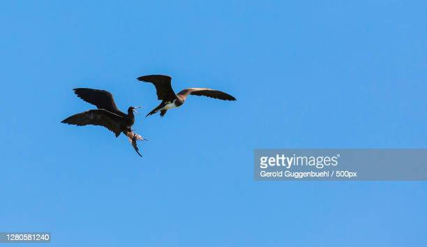 low angle view of birds flying against clear blue sky,playas del coco,provinz guanacaste,costa rica - gerold guggenbuehl stock-fotos und bilder