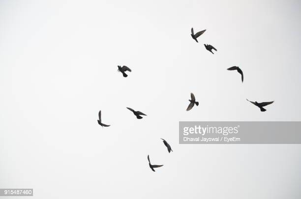 low angle view of birds flying against clear sky - pájaro fotografías e imágenes de stock