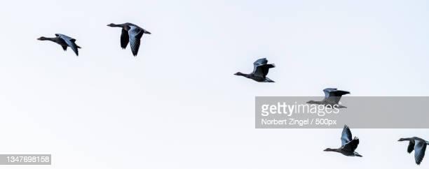 low angle view of birds flying against clear sky,nieby,germany - norbert zingel stock-fotos und bilder