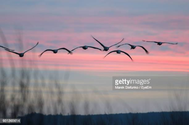 low angle view of birds flying against sky during sunset - marek stefunko stock photos and pictures