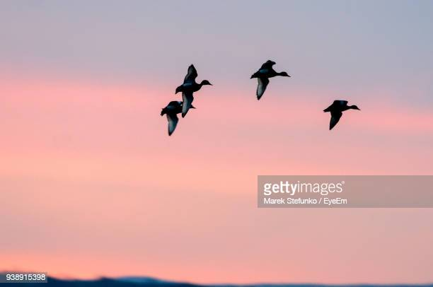 low angle view of birds flying against sky during sunset - marek stefunko fotografías e imágenes de stock