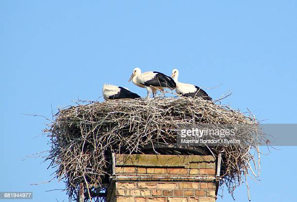 Low Angle View Of Birds On Nest Against Clear Blue Sky