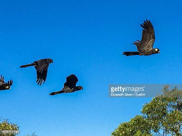 Low Angle View Of Black Cockatoos Flying Against Clear Blue Sky