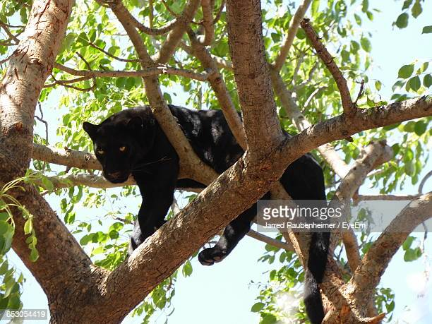 Low Angle View Of Black Leopard On Tree