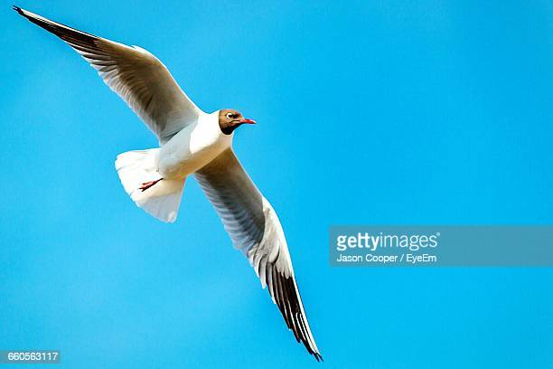 Low Angle View Of Black-Headed Gull Against Clear Sky