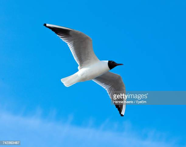 Low Angle View Of Black-Headed Gull Flying Against Clear Blue Sky