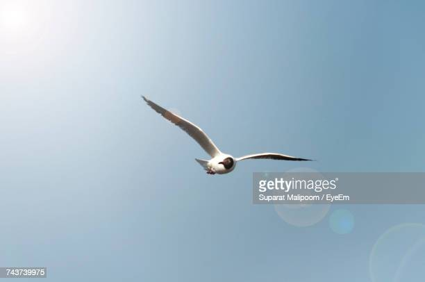 Low Angle View Of Black-Headed Gull Flying In Clear Blue Sky