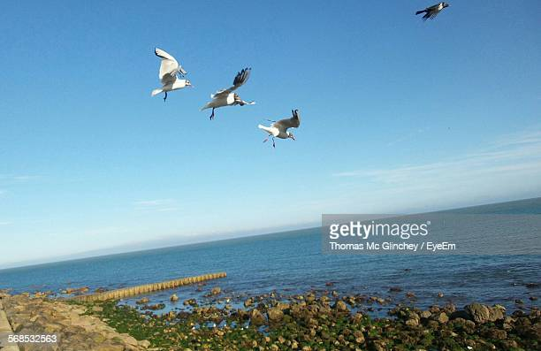 Low Angle View Of Black-Headed Gulls Flying Above Beach