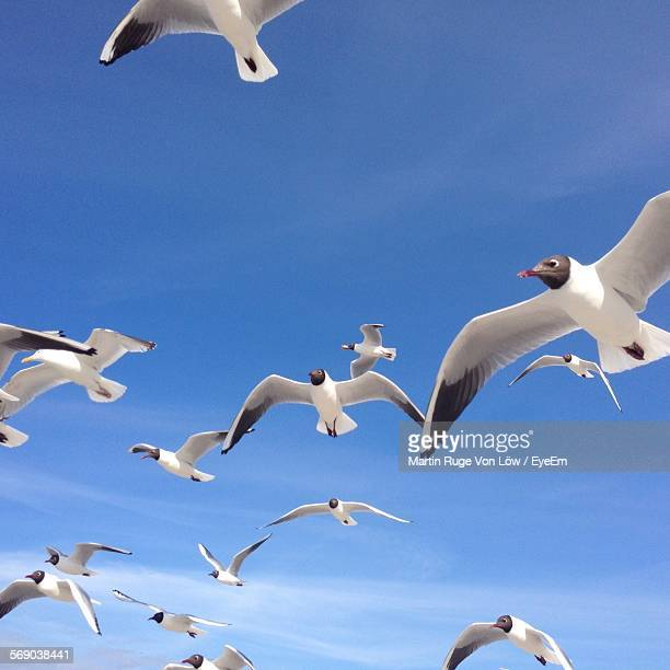 Low Angle View Of Black-Headed Gulls Flying Against Blue Sky