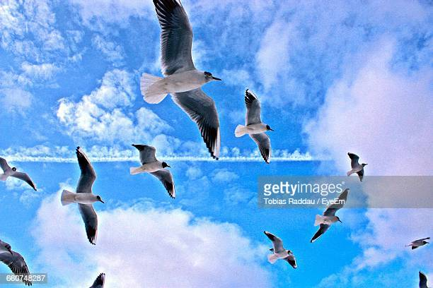 Low Angle View Of Black-Headed Gulls Flying Against Sky
